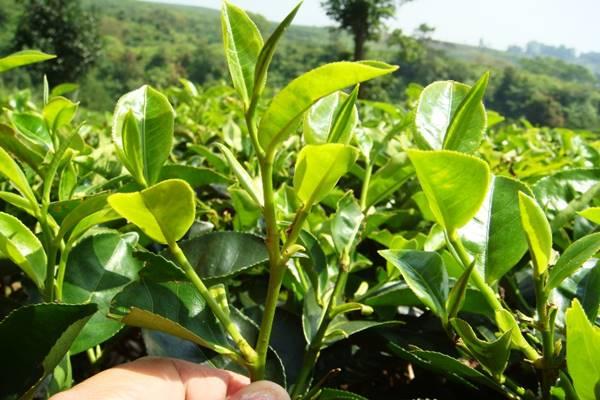 tanaman teh mengobati sakit migrain