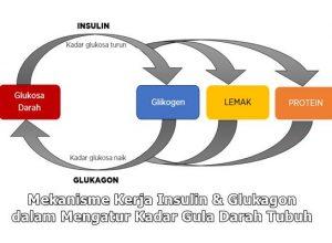 mekanisme kerja insulin dan glukagon