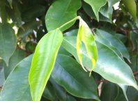penelitian daun gaharu