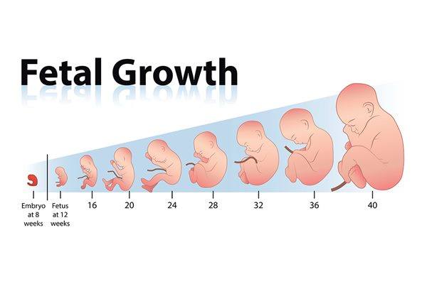 Proses perkembangan janin setiap minggu