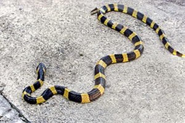 ular weling